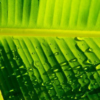 Jamaica Palm Leaves 4