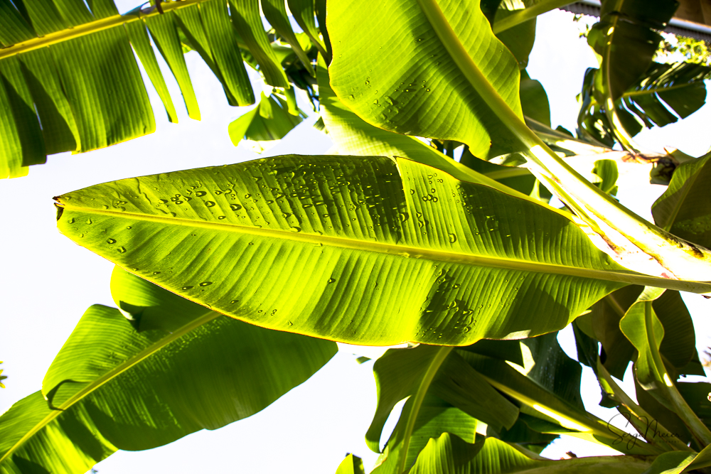 Jamaica Palm Leaves 2