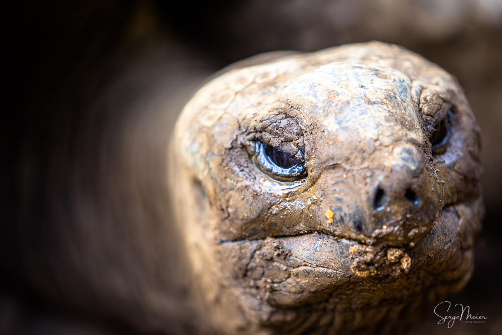 Geant Tortoise